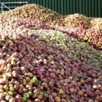 Калининградец будет выпускать сидр из собственных яблок