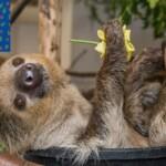 В зоопарке Лос-Анджелеса ленивец поучаствовал в варке пива