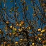 Уральская сидродельня просит приносить им фрукты в обмен на сидр