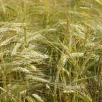 52 российских фермерских хозяйства и агрохолдинга приняли участие в посевной кампании агропроекта Carlsberg Group