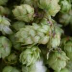 Hop Products Australia вывела на рынок новый сорт хмеля
