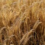 Прогноз USDA: в 2022 году в Евросоюзе и России сократится урожай ячменя